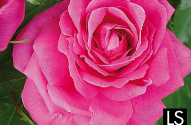 Rosa… che passione!