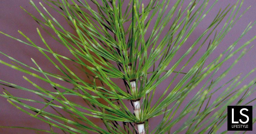 Equiseto, pianta preistorica dalle inaspettate virtù