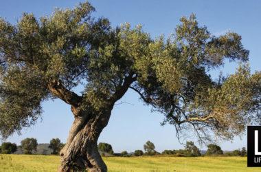 Officina delle Erbe. Olivo, albero della forza