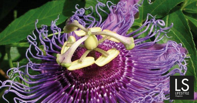 Passiflora. Il fiore della calma.