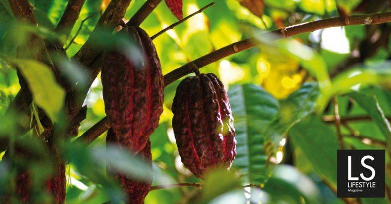 Cacao, il cibo degli dei