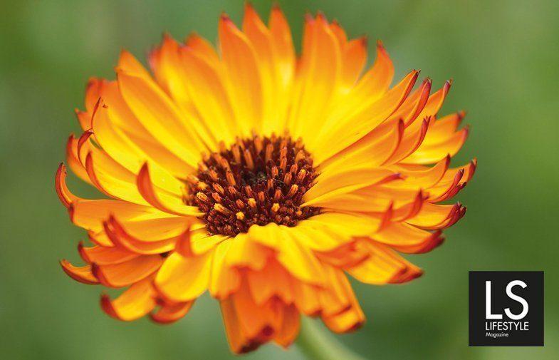Calendula, pianta del sole alleata della donna