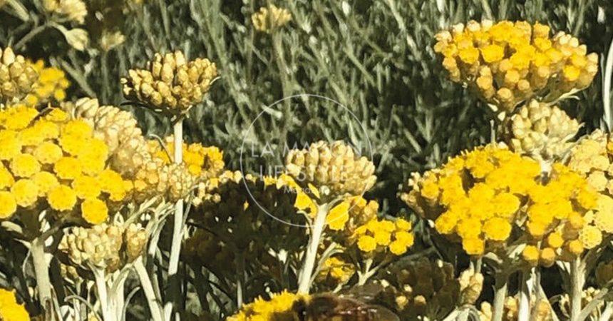 Elicriso, dorata pianta solare