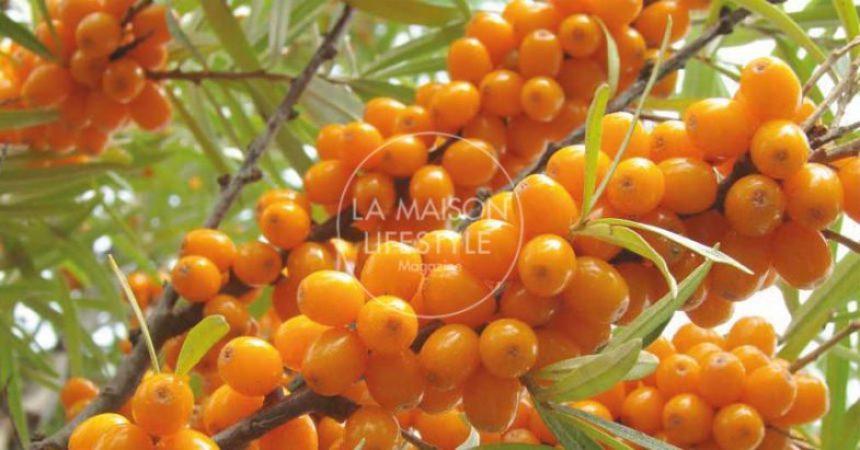 Olivello spinoso, l'oro dell'inverno